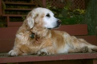 Arthritis in Dogs- How to Reduce Discomfort